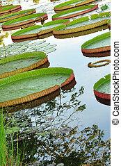 Victoria Regia - Water lilies