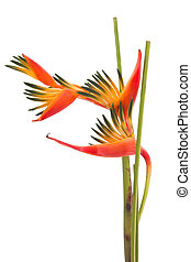 Tropical flower Bird of Paradise, isolated on white...