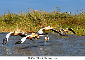 group of pelicans - a group of pelicans in the Djoudj...