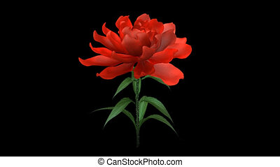 growing rose flower with alpha chan - growing tulip flower...