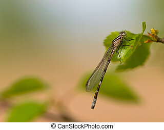 Dragonfly resting on leaf - Dragonfly Enallagma cyathigerum...