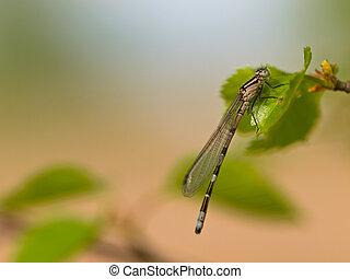 Dragonfly resting on leaf - Dragonfly (Enallagma...