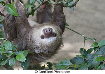 Two toed sloth hanging in tree - Close up of a Hoffmann's...