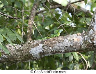 Baselisk lizzard on a branch