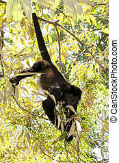 Howler monkey in tree - Small howler monkey eating leafs in...