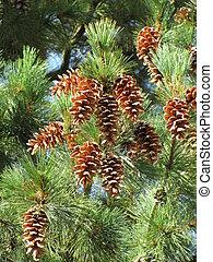 cones - Cones on a green tree