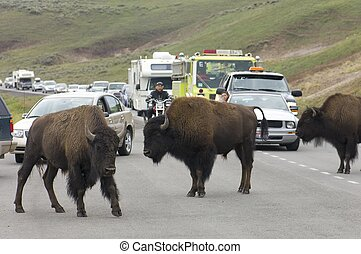 bisons in Yellowstone - Yellowstone, Usa - August 18, 2007:...