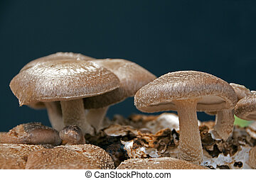 eatable fungus - brown eatable fungus mushroom lentinula