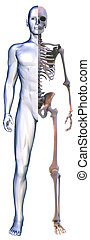 body and Skeleton on white - 3D rendering of body and...