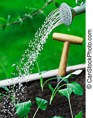 Watering young seedlings using a watering can with a spray...