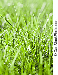 Close up of early dew on healthy grass with very selective...