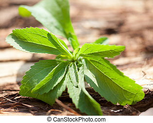 Stevia sweetleaf on wooden background
