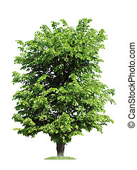 elm, isolated - green elm tree, isolated over white
