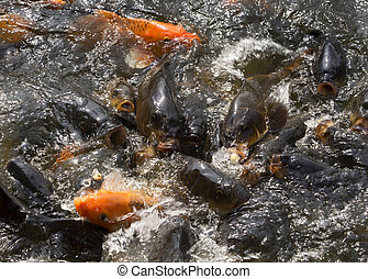 Close up of fighting carp fish in pool at Ho Chi Minh house....