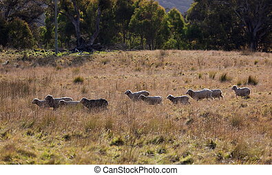 Sheep grazing Tablelands near Oberon New South Wales...