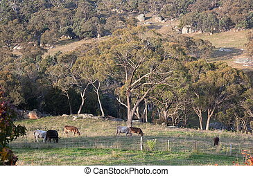 Cows on a rocky farmland. Australia - Cows on a rocky...