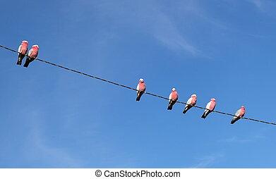 Galah (Cacatua roseicapilla) Cockatoos. Oberon. NSW....