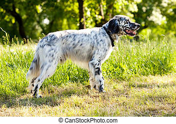english setter  outdoor