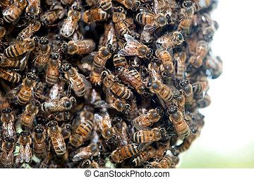 enxame, mel, abelhas