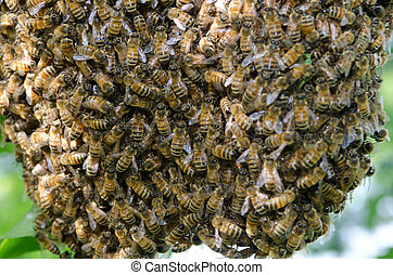Swarm of honey bees - A swarm of European honey bees...