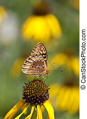 Coneflower and Butterfly - A macro shot of a Great Spangled...
