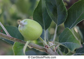 Young Apple Growing on Tree - Granny Smith apple growing on...