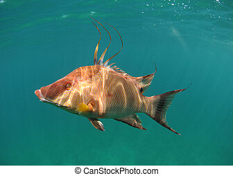 Hogfish swimming underwater off the coast of the Atlantic...