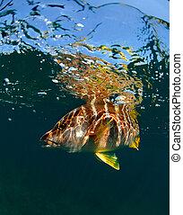 Schoolmaster snapper underwater - Schoolmaster snapper...