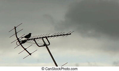 Singing Blackbird on Antenna - A blackbird sings on top of...