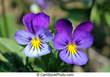 Twp of a kind - Two pansy flowers