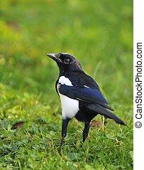 Magpie. - Magpie in garden.
