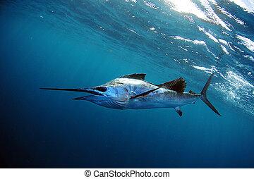 Sailfish underwater in blue water - sailfish in blue water...