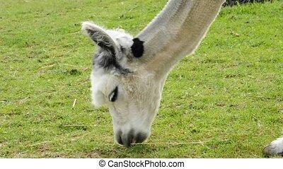 alpaca on a meadow