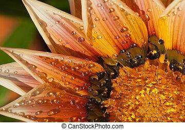 bonito,  Gazania, flor, chuva, após