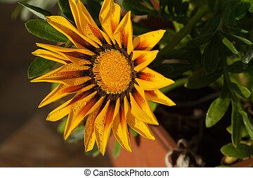 bonito, Gazania, flor, após, chuva