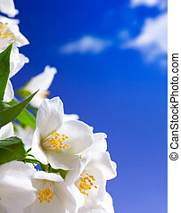 Art jasmine flowers background - jasmine flowers on blue sky...