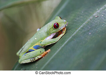Red Eyed Frog - Red eyed frog on a leaf