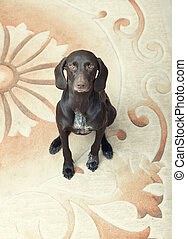 Kurzkhaar - German short haired pointer known as Kurzkhaar...