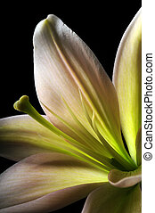 Lily flower and stamen
