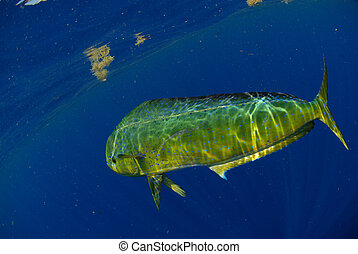 Mahi mahi swimming underwater in blue ocean - Single dolphin...