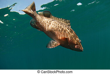 Red grouper fish swimming in ocean - red grouper fish...