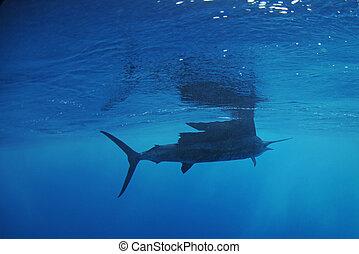 Sailfish fish swimming in ocean - Sailfish fish swimming in...