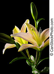 White lilies on black background - Beautiful white and...