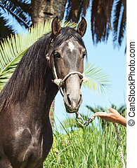 portrait of Andalusian grey  stallion at palm leaves background
