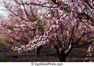 Blossoming Peach Tree - A blossoming peach tree in an...