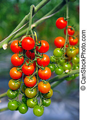 Orchard Growing Tree Tomatoes - An orchard growing tree...