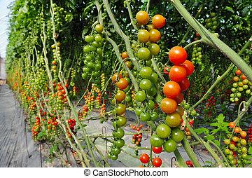 huerto, Crecer, árbol, tomates