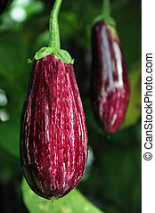 Eggplant Growing on a Tree - Fresh Eggplant aubergine in a...