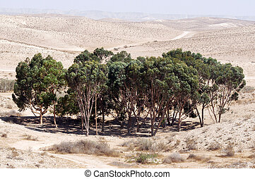 Oasis in the Desert - Eucalyptus trees in a man-made dunes...