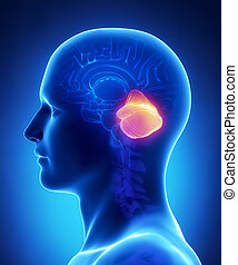 cerebro, cerebelo, anatomía, -, cruz, sección